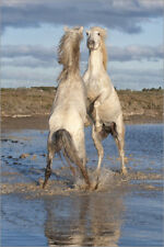 Póster, lienzo o cuadro en metacrilato Camargue stallions fighting in the water