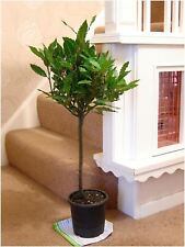 Twisted Hardy Aromatic Laurus Nobilis Sweet Bay Tree in Pot Indoor Outdoor Plant