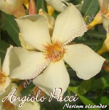 "Oleander ""Angiolo Pucci"" - Nerium oleander"