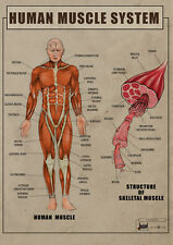 Human Muscle System Anatomy and function biology Poster Canvas print A4 A3 A2 A1