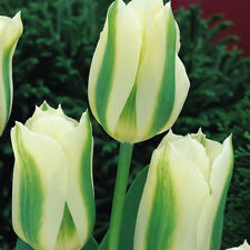 PRE-ORDER - Spring Green Viridiflora Spring Tulip Bulbs White - Sept 18 Delivery