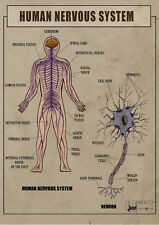 Human Nervous System Anatomy, function ver.2 biology Poster Canvas print A1 - A4