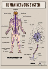 Human Nervous System Anatomy, function ver.1 biology Poster Canvas print A1 - A4