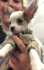 Chihuahua Coat or Puppy Jumper  Hand Knitted in Aran Wool to fit Perfectly