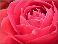 PINK ROSE CLOSE-UP CANVAS WALL HANGING IMAGE ART FLOWERS ART IMAGE PHOTO PINK