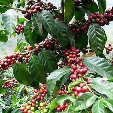 Coffee Arabica Bush Seeds (Coffea Arabica) 10+Seeds