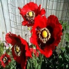 Poppy Pepperbox Flower Seeds (Papaver Somniferum) 100+Seeds