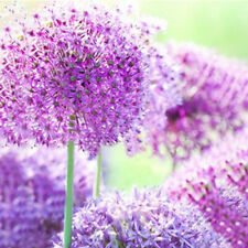 EGROW 100 PCS GIANT ALLIUM GIGANTEUM FLOWER SEEDS BEAUTIFUL GARDEN COURTYARD