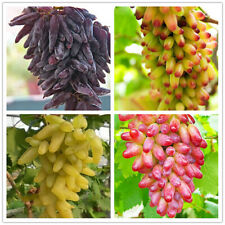 Egrow 50 Pcs/Pack Finger Grape Seed Delicious Potted Fruit Grapes Plant Seeds