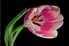 PINK WHITE TULIP BLACK CLOSE UP FLOWERS FLORAL CANVAS WALL ART HANGING IMAGE