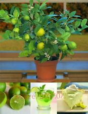 20pcs/bag Kaffir Lime plants Lime plants (citrus Aurantifolia) Organic Fruit