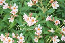 Nerium Oleander Seeds Clusters of Pink Blossoms Drought and Salt Tolerant
