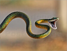 Poster / Leinwandbild Brightly coloured parrot snake