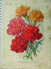 Old Antique Print 1909 Winter-Flowering Carnations Red Yellow Flowers 179A121