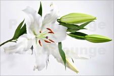 Póster, lienzo o cuadro en metacrilato A blooming white lily and buds - J. Forte