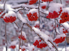 Póster, lienzo o cuadro en metacrilato Snow on Mountain Ash Berries - H. Garber