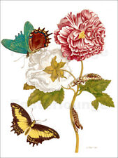 Póster, lienzo o cuadro en metacrilato Roses with Lepidoptera M... - M. Merian