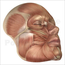 Póster, lienzo o cuadro en metacrilato Anatomy of human face muscles - S. Images