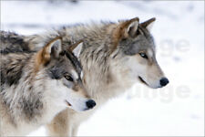 Póster, lienzo o cuadro en metacrilato Two Timber Wolves in the snow - L. Murray