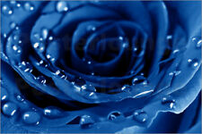Poster / Toile / Tableau verre acrylique Blue Roses with Water Drops