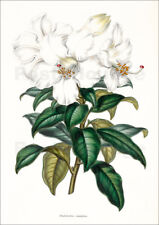 Póster, lienzo o cuadro en metacrilato Rhododendron calophyllum - Miss Sowerby