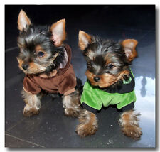chiots Pull, sweatschirt taille XS disant Pull , pull pour chien