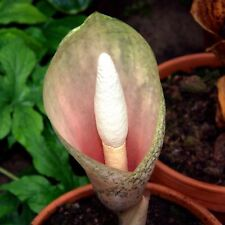 Amorphophallus bulbifer - Voodoo Lily - Corms by Size