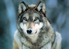 New Grey Wolf Animal Photography Poster
