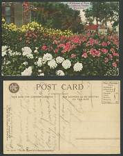 USA Old Postcard A Wilderness of Roses California Garden Wintertime Rose Flowers
