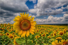 Póster, lienzo o cuadro en metacrilato King of Sunflowers - Achim Thomae