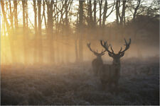 Poster, stampa su tela o vetro acrilico Two deer stags in a mis... - A. Saberi