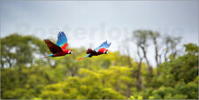 Póster, lienzo o cuadro en metacrilato Red-and-green-macaws fly... - A. Saberi