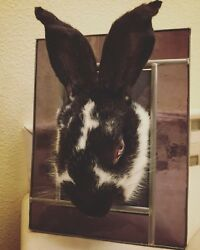 Blackwhite- Rabbit domestic-taxidermy mount stuffed animal OOAK stained glass