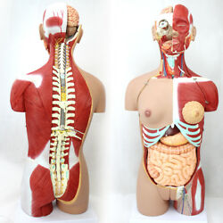 Medical 85cm 29 Parts Human Full Size Torso Model With Half Body Muscles Andorgans