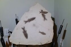 Museum Fossil Fish Slab Green River Wyoming Plate Large Rare Display Specimen