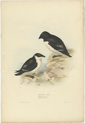 Antique Bird Print Of The Little Auk By Gould 1832