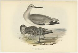 Antique Bird Print Of The Semipalmated Sandpiper By Gould 1832