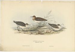 Antique Bird Print Of The Little Sandpiper By Gould 1832