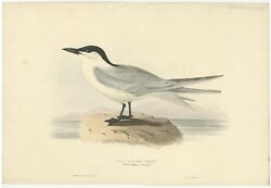 Antique Bird Print Of The Gull-billed Tern By Gould 1832