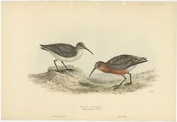 Antique Bird Print Of The Pygmy Curlew By Gould 1832