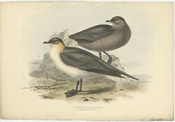Antique Bird Print Of The Richardon's Jager By Gould 1832