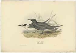 Antique Bird Print Of The Black Tern By Gould 1832