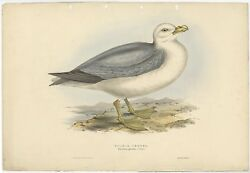 Antique Bird Print Of The Fulmarine Petrel By Gould 1832
