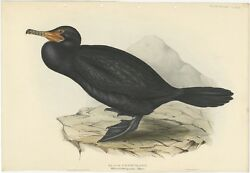 Antique Bird Print Of The Great Cormorant By Gould 1832