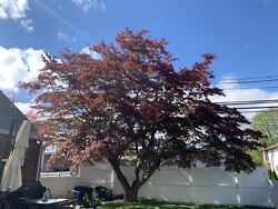 "Incredible Healthy Japanese Maple 45' Wide x 22' Tall 28"" Diameter Trunk"