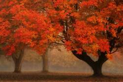 20x30 Photograph Picture On Metal Fine Art Fall Color Ohio Maple Tree