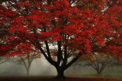 24x36 Photograph Picture On Metal Fine Art Fall Color Ohio Maple Tree