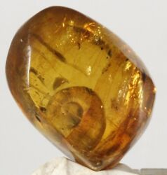 ++ Amazing Shell Mexican Amber Specimen