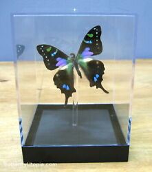 Real 3d Framed Butterfly Purple Spotted Swallowtail - Table Top
