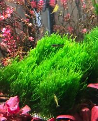 Flame Moss 8cmx8cm Pad, Very Good Quality Moss Sold Out.....